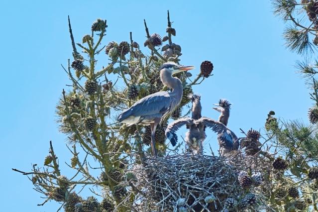 Heron chicks-copyright David Sullivan(1)