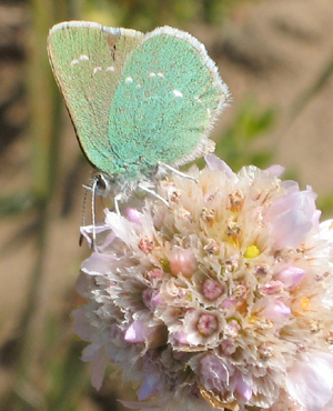 GreenHairstreak-8-17 copy