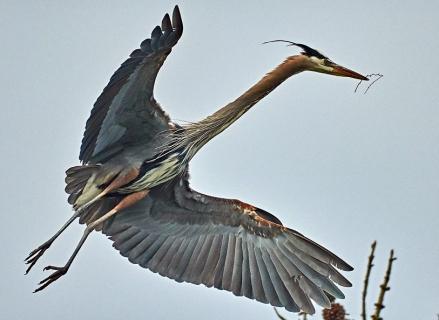 blue heron edited