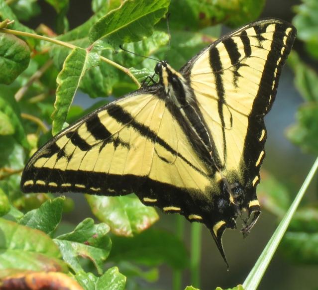 Butterfly 2 RSN 7-18-19