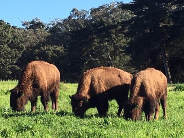 bison-mjsd-both-4-29jpg