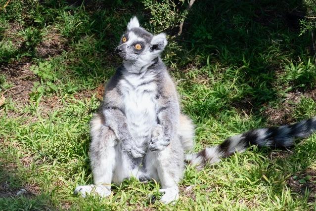 lemur 2 RSN 10-14-20